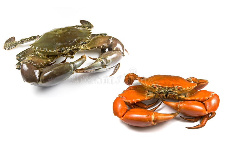 Mud Crabs Royalty Free Stock Images