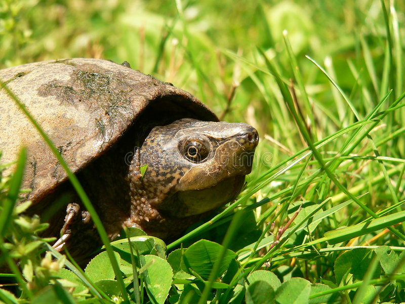 Download Mud Turtle in the Grass stock image. Image of slow, scaly - 894757
