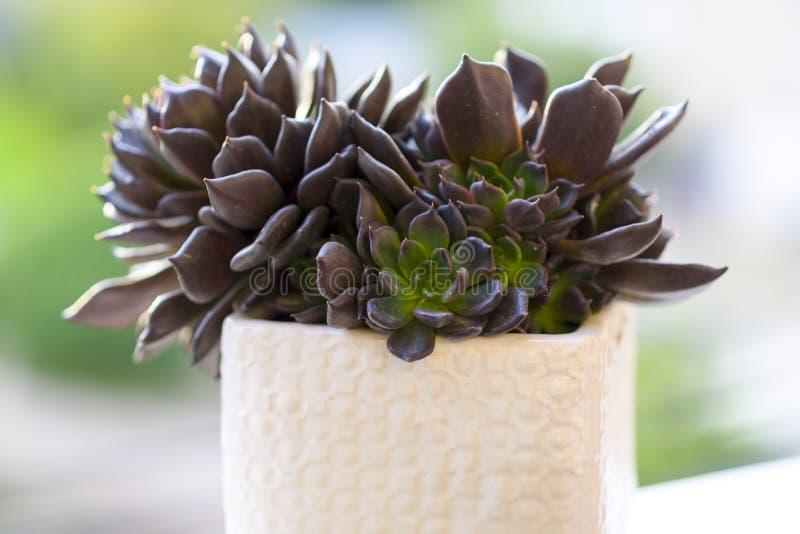 Muda Suculenta Echeveria Black Prince, Negra, succulents cactus plant. Muda Suculenta Echeveria Black Prince, Negra, succulent cactus plant in a white flower stock photos