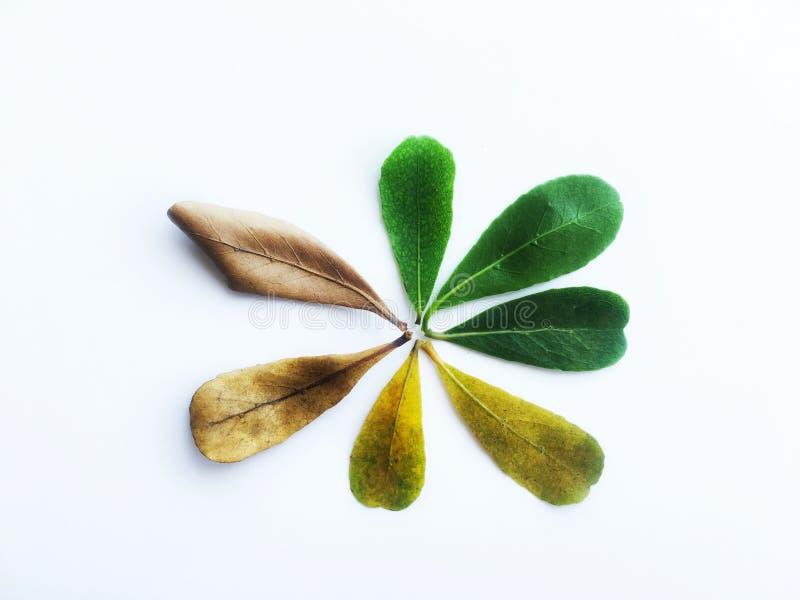 Mudança da cor das folhas do verde fresco para secar o marrom da folha do ivorensis de Terminalia foto de stock royalty free