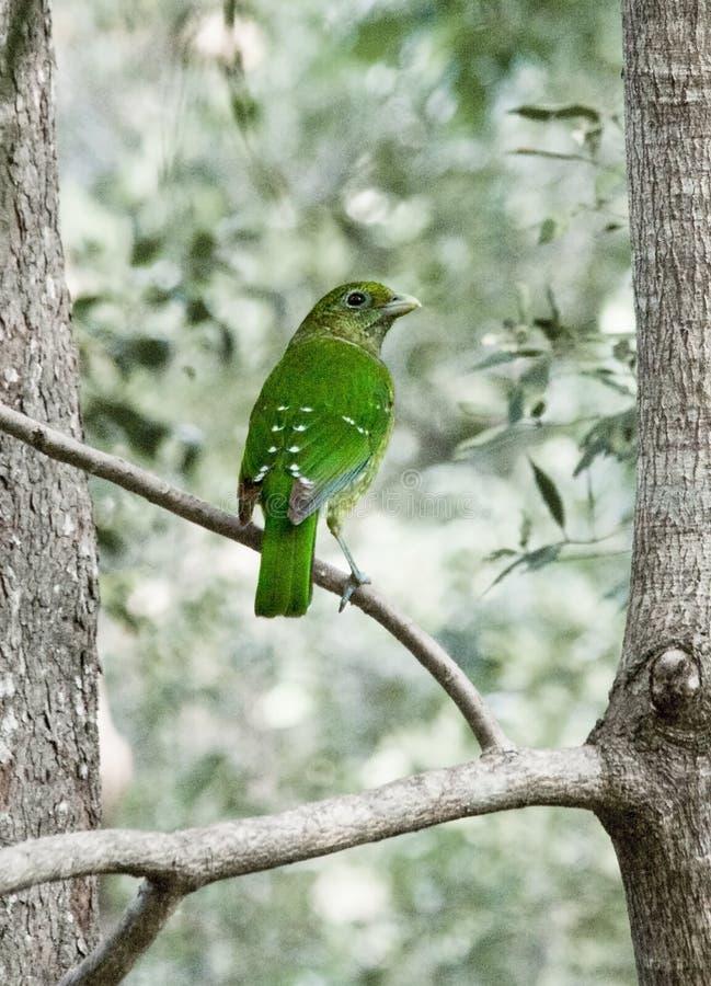 Mudança da cor de Austrália Cat Bird Queensland Looking Backwards imagens de stock royalty free