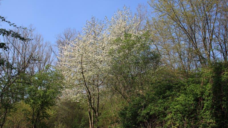 Mudança verde da estação e Cherry In Spring Time branco de florescência de florescência fotografia de stock