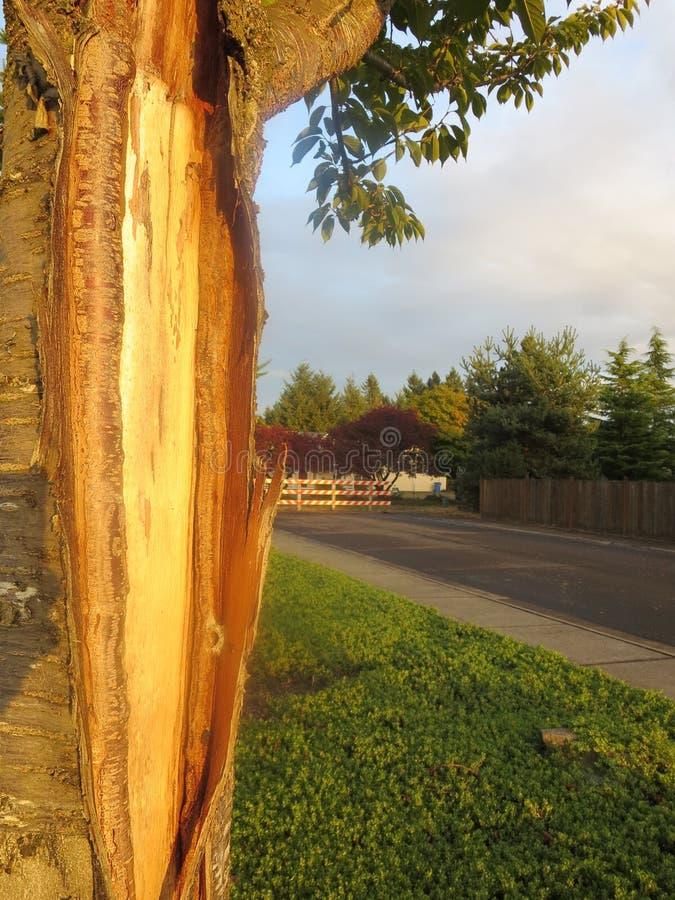 Mudando a casca de uma árvore de cereja em um jardim foto de stock royalty free