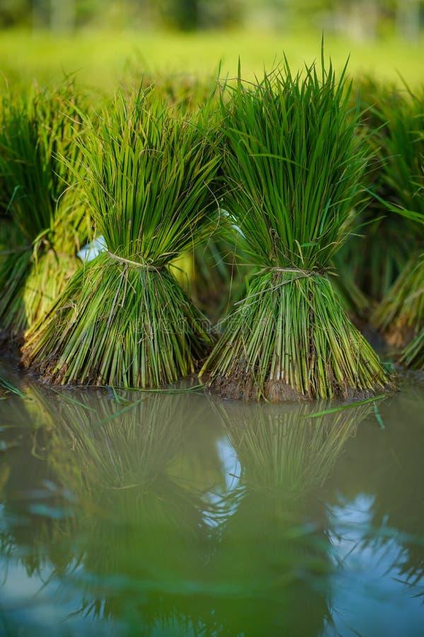 Mudas de arroz, Agricultura em campos de arroz imagens de stock