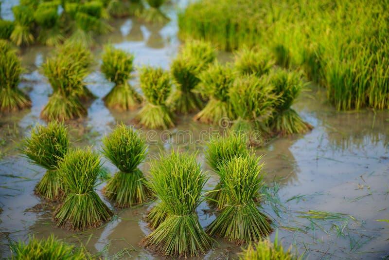 Mudas de arroz, Agricultura em campos de arroz imagens de stock royalty free