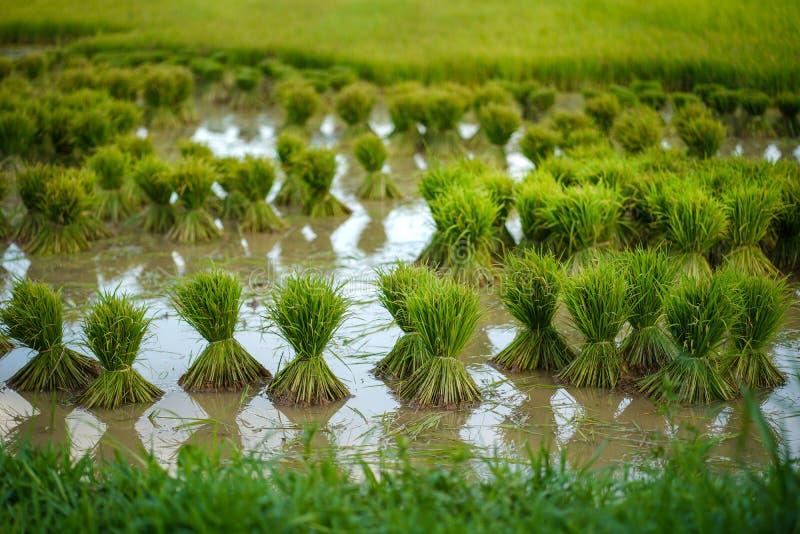 Mudas de arroz, Agricultura em campos de arroz fotos de stock