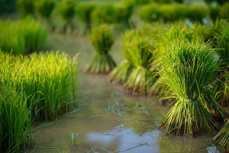 Mudas de arroz, Agricultura em campos de arroz foto de stock royalty free
