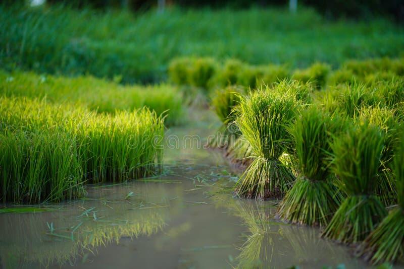 Mudas de arroz, Agricultura em campos de arroz imagem de stock royalty free