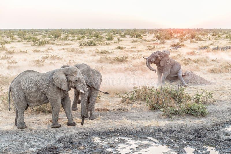 Muddy African Elephant che graffia la sua natica al tramonto immagini stock libere da diritti