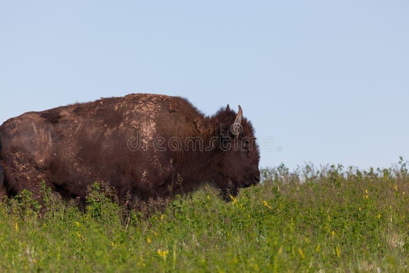 Muddy Bison Profile royalty free stock photo