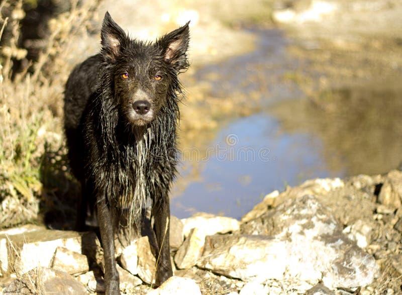 Muddy Border Collie ripugnante immagini stock