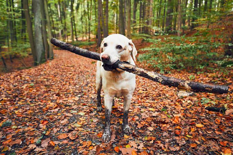 Muddy dog in autumn nature. Dirty labrador retriever with stick in mouth walking on the footpath in the forest royalty free stock photo