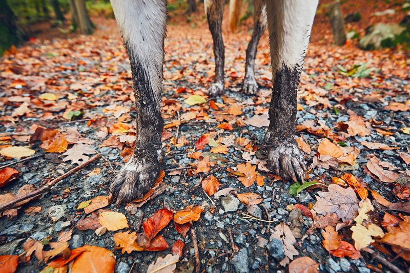 Muddy dog in autumn nature. Dirty paws of the labrador retriever on the footpath in the forest. - selective focus stock images