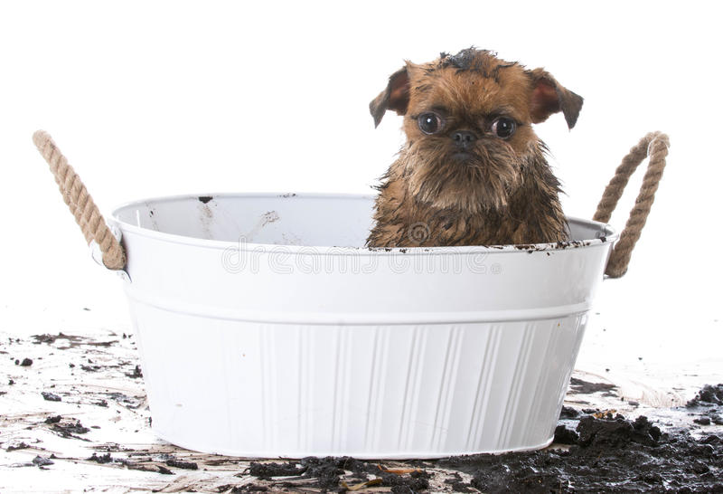 Muddy dog getting a bath. Muddy brussels griffon in wash basin to get a bath on white background royalty free stock images