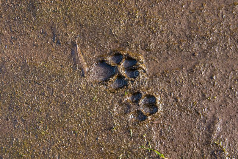 Dog prints in the mud. Muddy dog prints on the ground stock photography