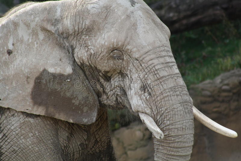 Muddy Elephant. Elephant just enjoyed a muddy bath to keep the annoying critters away and to help it's skin stock photography