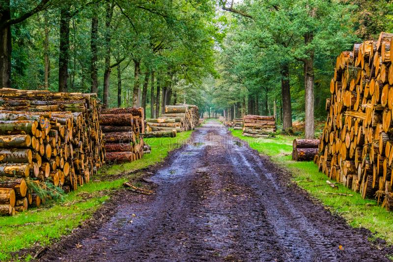 Muddy forest road with many tree trunk piles, Liesbos, Breda, The Netherlands. A muddy forest road with many tree trunk piles, Liesbos, Breda, The Netherlands royalty free stock image
