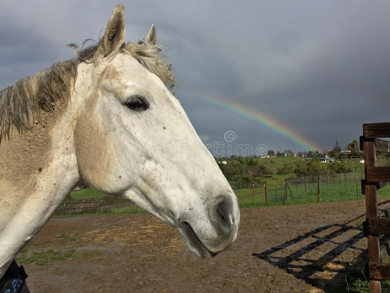 Muddy gray horse and Rainbow royalty free stock image