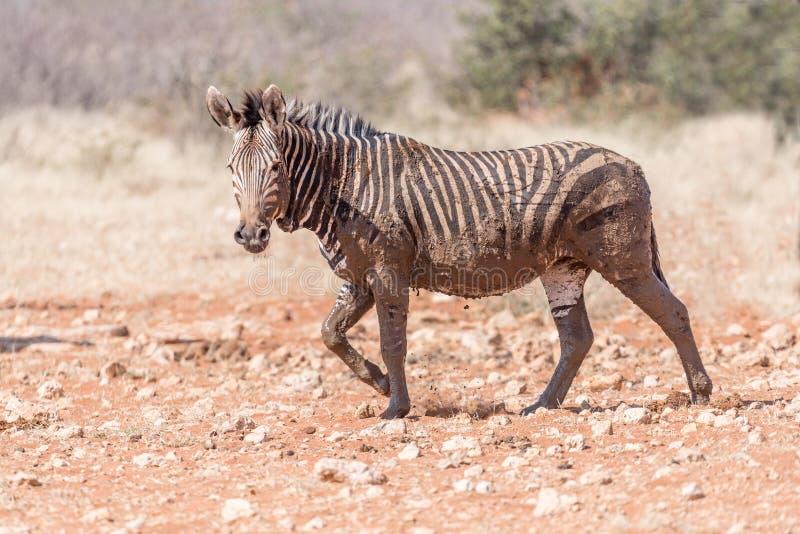 Muddy Hartmann Mountain Zebra royaltyfri bild