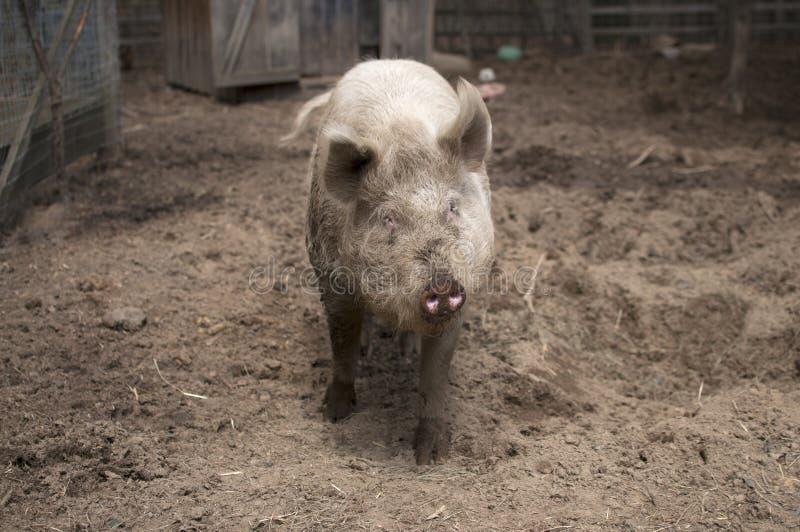 Muddy Pig. Cute muddy pig at farm stock photography