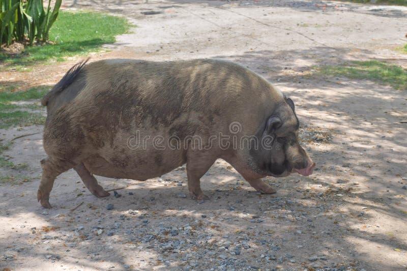 Muddy pig walking on the way.  royalty free stock photo