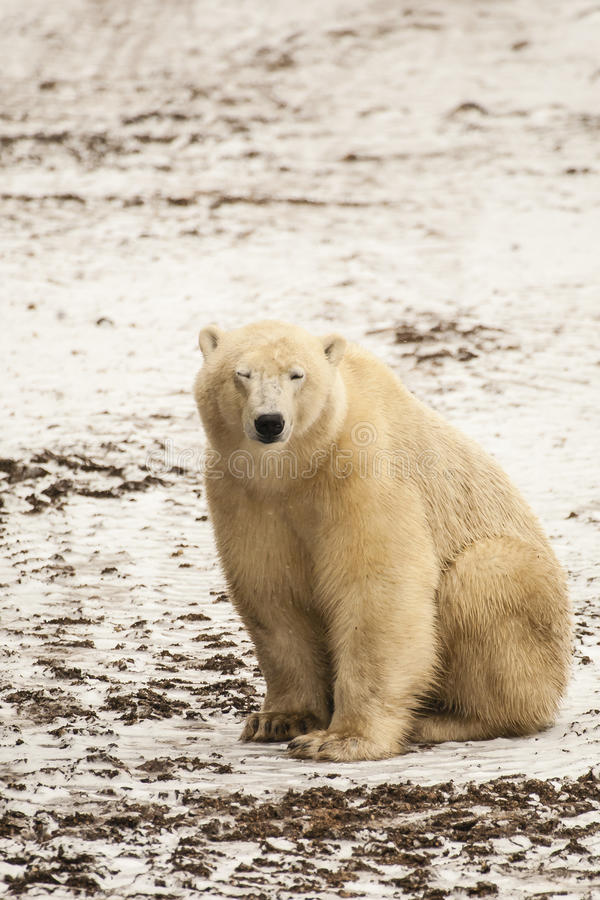 Free Muddy Polar Bear Squinting. Stock Images - 72513144