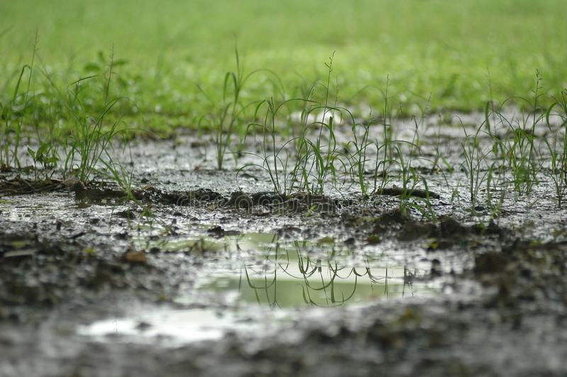 A muddy pond with planting new tree in muddy soil stock images