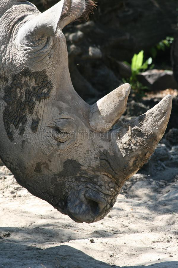 Download Muddy rhinoceros head stock photo. Image of mammals, backside - 5814924