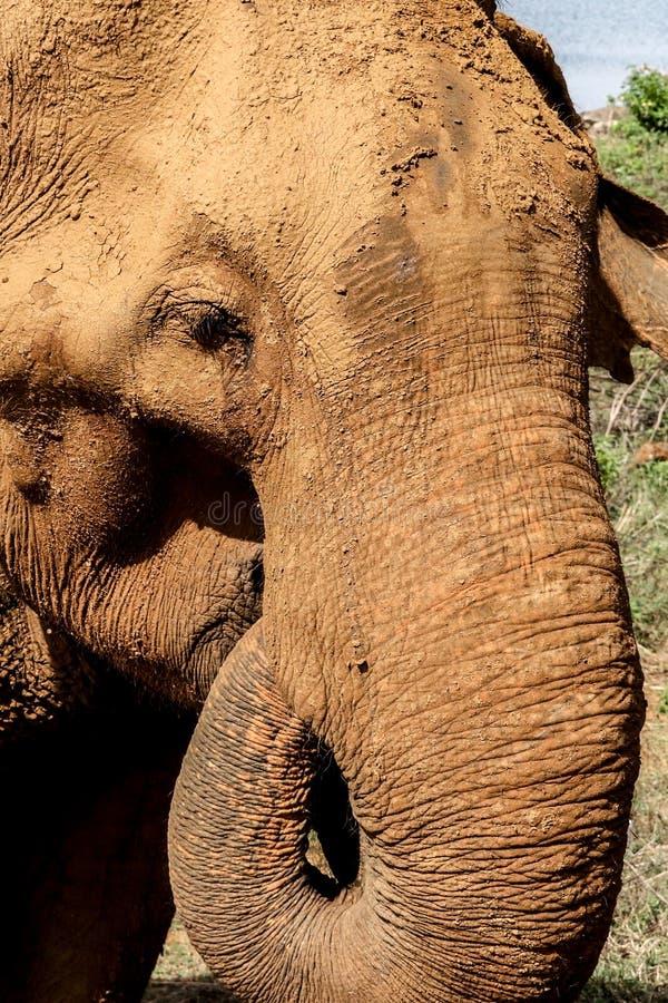 Muddy wild elephant. Big wild elephant with muddy bath at udawalawa safari park , srilanka royalty free stock image