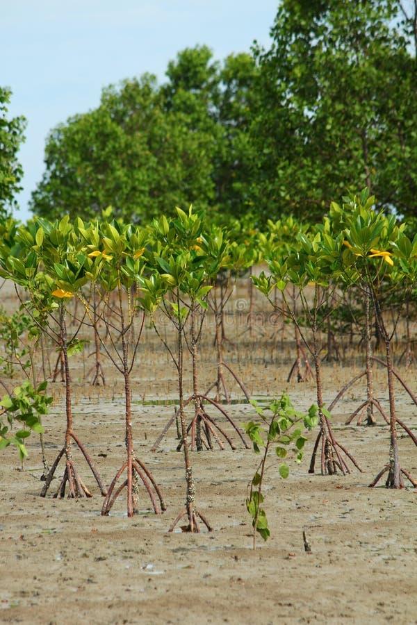 Mudflats dos manguezais imagem de stock