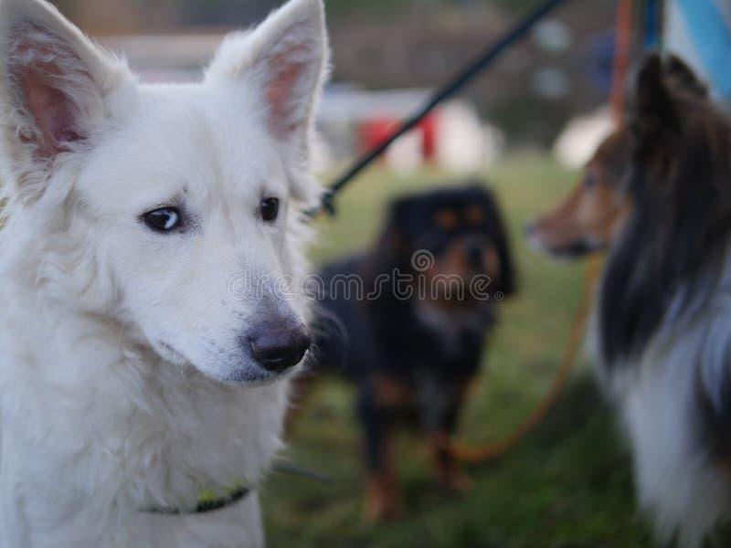 Mudi,设德蓝群岛牧羊犬和骑士国王查尔斯狗 免版税图库摄影