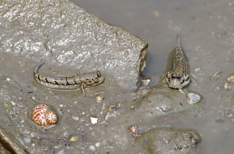 Mudskipper两栖鱼Oxudercinae在泰国 免版税库存照片