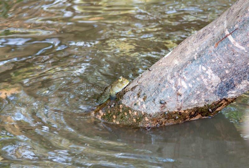 Mudskipper或两栖鱼在美洲红树森林野生生物生命 免版税库存照片