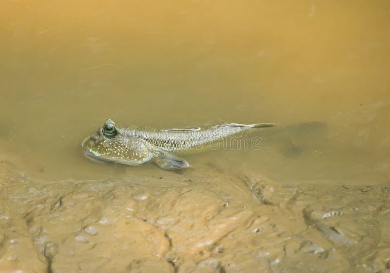 Mudskipper鱼,两栖鱼在美洲红树森林里 免版税库存图片