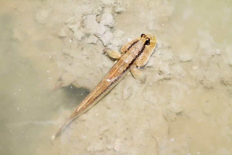 mudskipper 库存照片