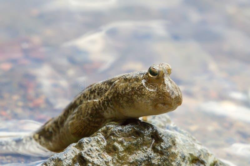 Mudskipper royalty-vrije stock fotografie