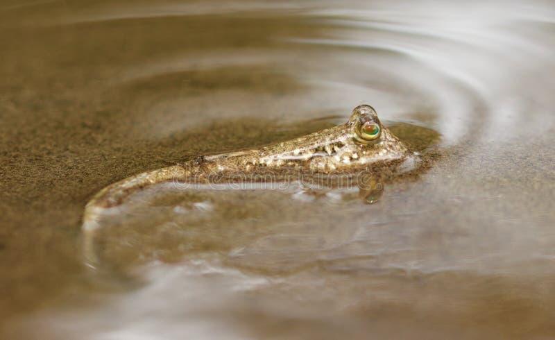 Mudskipper стоковые изображения