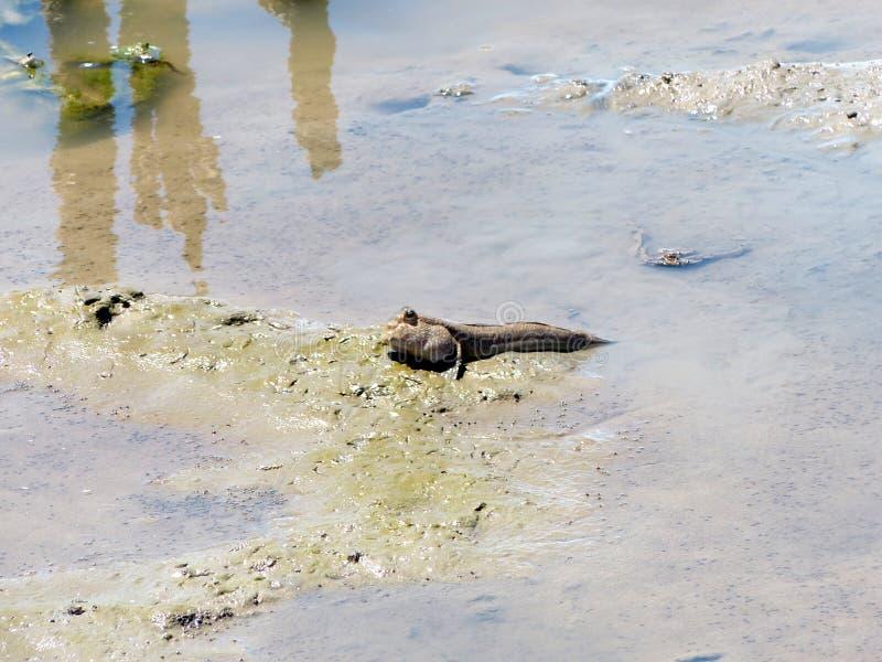 Mudskipper amfibische vissen royalty-vrije stock afbeeldingen