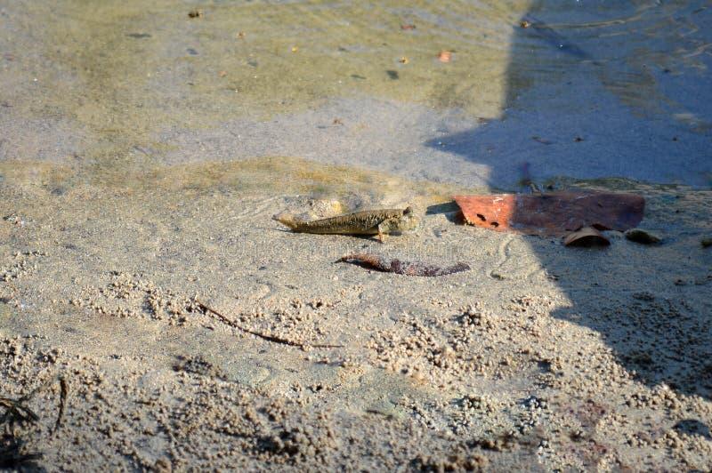 Mudskipper en playa fangosa foto de archivo