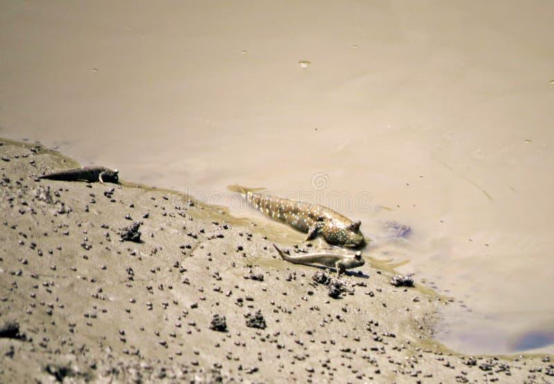 Mudskipper en Sundarbans, Bangladesh imagen de archivo