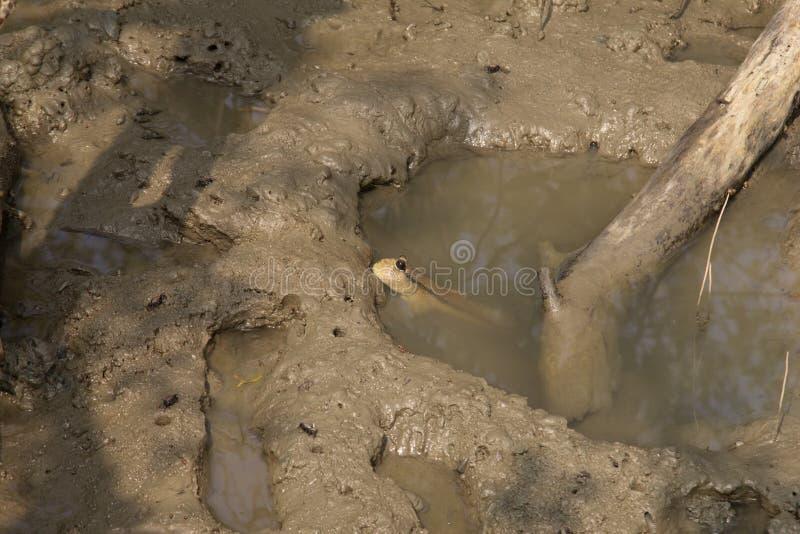 Mudskipper est un animal commun trouvé dans les palétuviers images stock