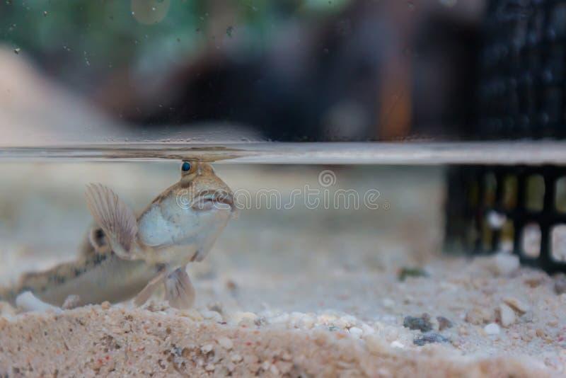 Mudskipper, peixe anfíbio no pântano imagens de stock