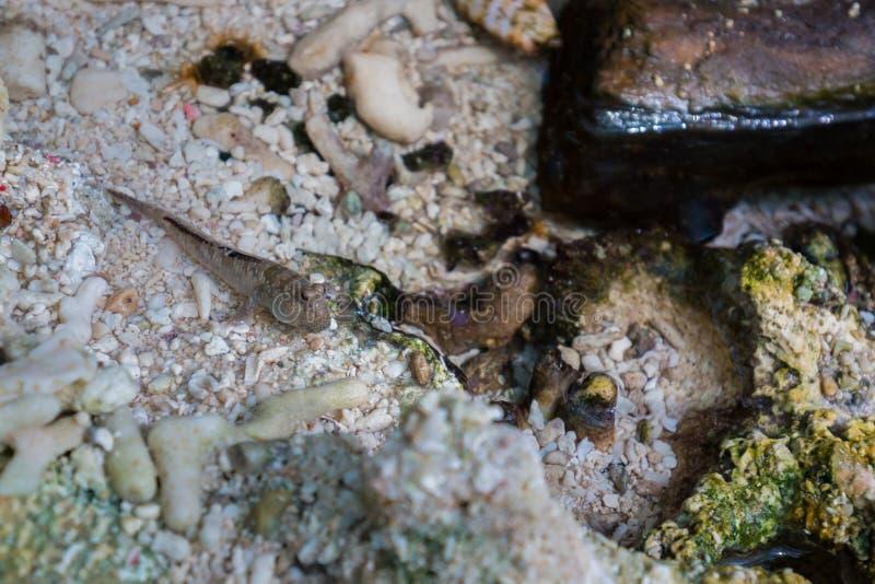Mudskipper, peixe anfíbio no pântano imagens de stock royalty free