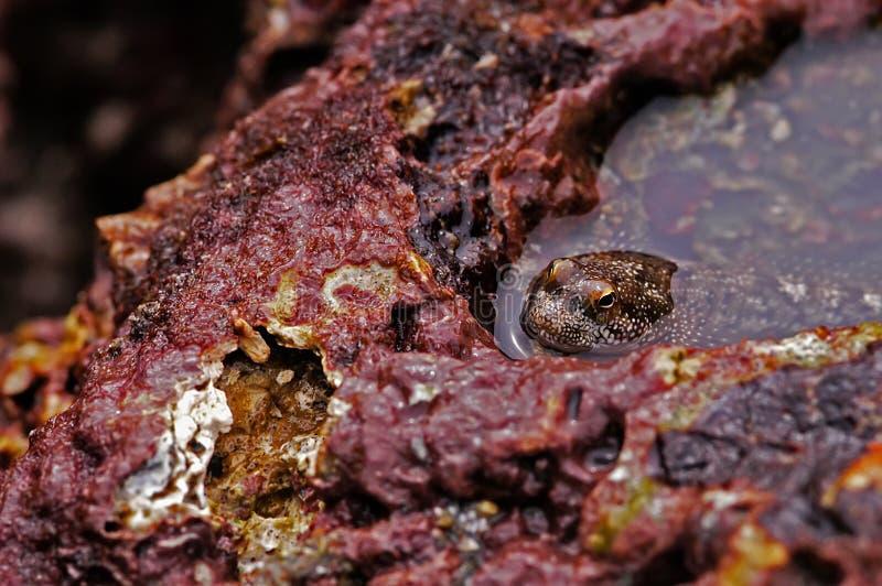 Mudskipper se reposant dans le magma entre les roches photos stock