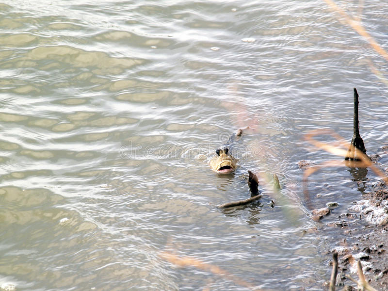 Mudskipper. In the water close up stock image