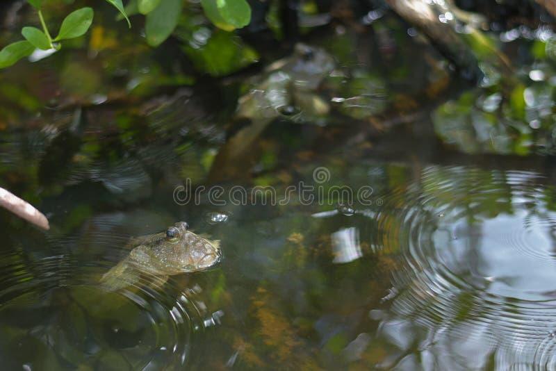 Mudskippervissen of Amfibische vissen, op de mangrove royalty-vrije stock foto