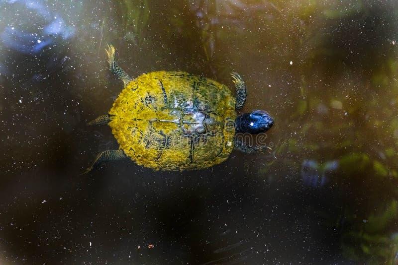 Mudturtle που κολυμπά στο βρώμικο νερό στοκ φωτογραφία