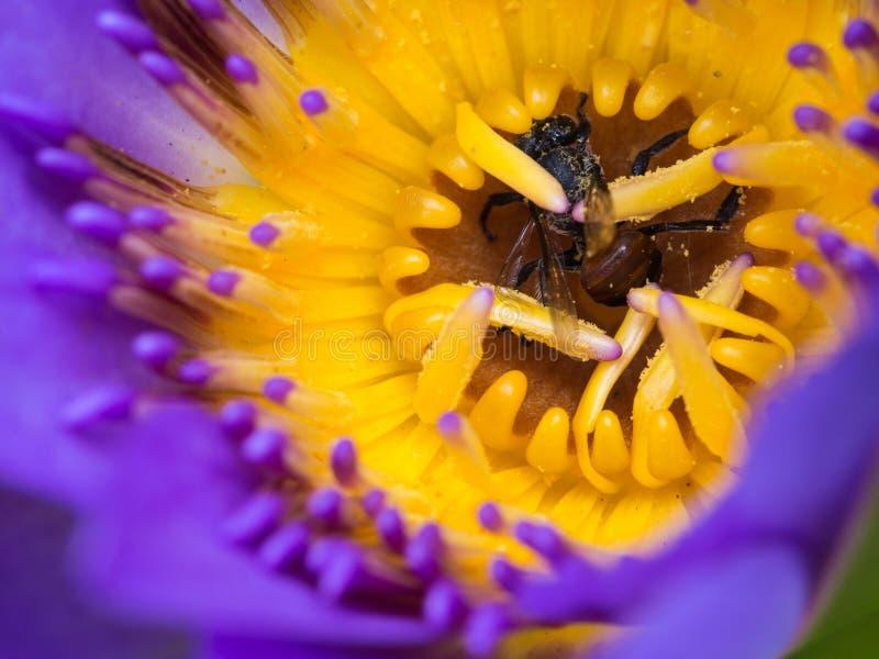 Muertes de la abeja en Lotus púrpura imagen de archivo libre de regalías