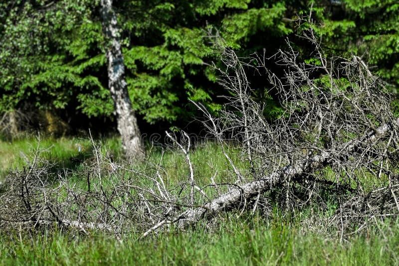 Muertos y árbol vivo fotos de archivo