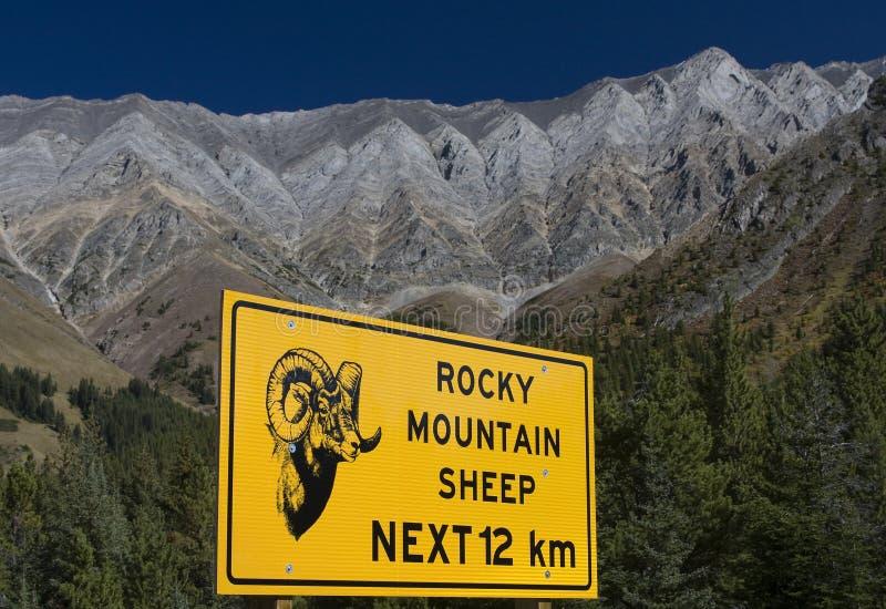 Muestra de las ovejas de montaña rocosa imagenes de archivo